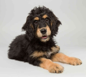 Bach, a fourteen-week-old Bernedoodle